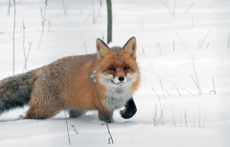 Photo wallpaper winter, snow, Fox