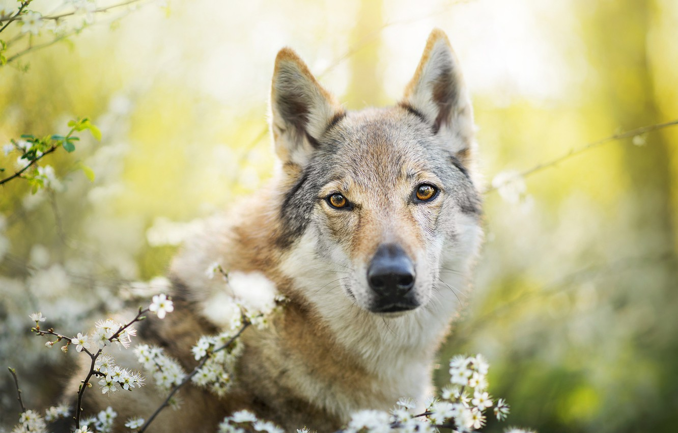 Photo wallpaper dog, spring, Chinua, the Czechoslovakian Wolfdog, Czechoslovakian, Wolfdog
