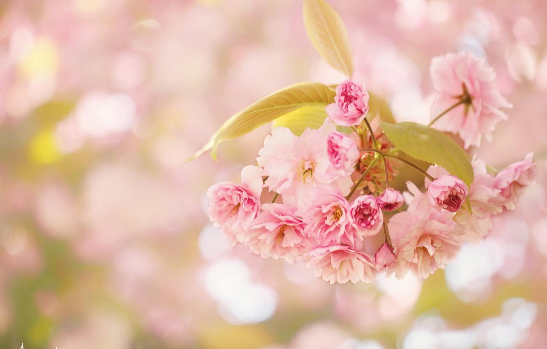 Photo wallpaper macro, cherry, branch, flowering, flowers, bokeh