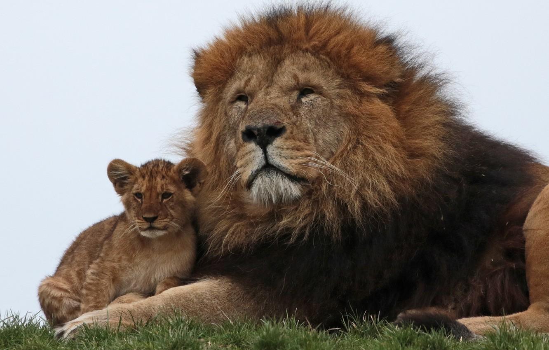 Photo wallpaper Leo, family, lion