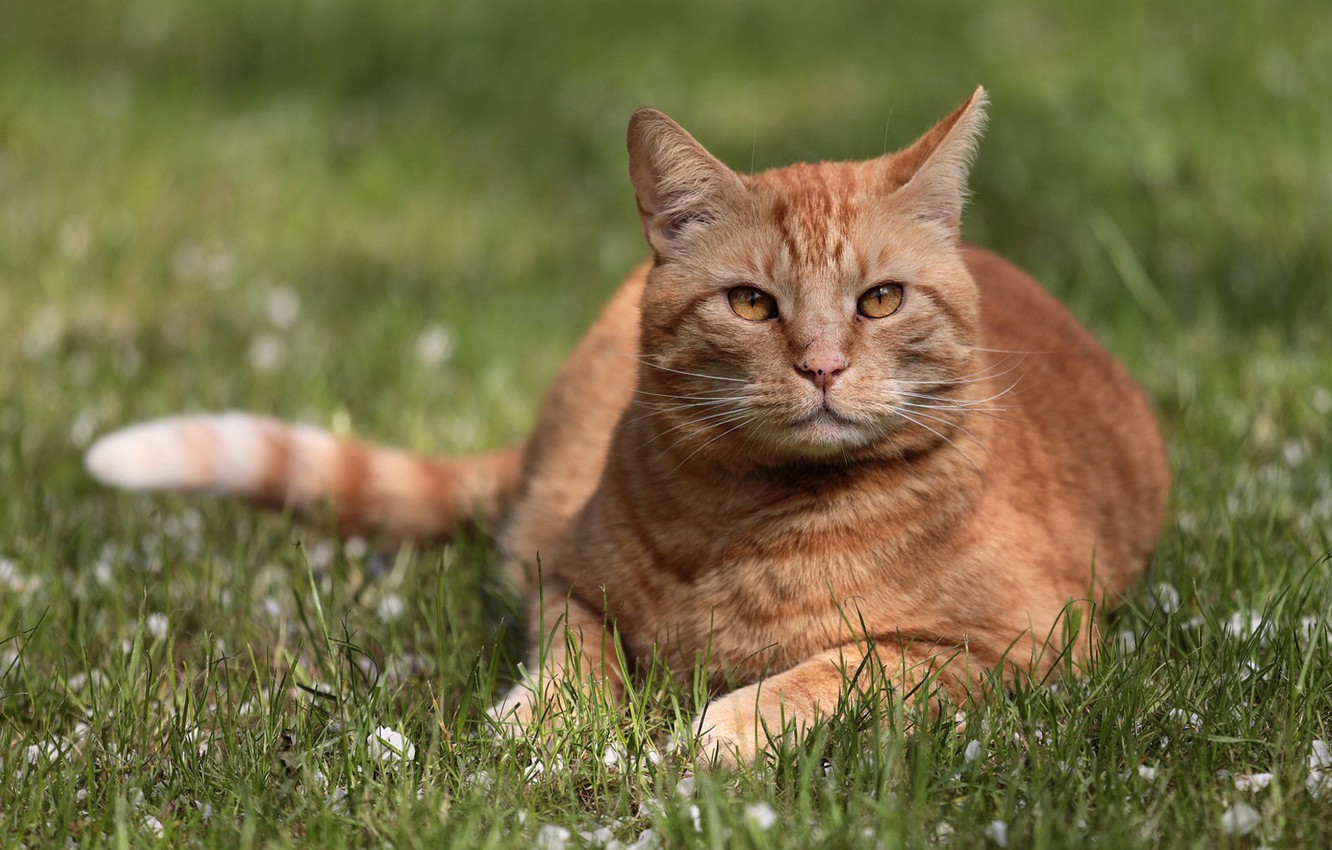 Photo wallpaper cat, grass, look, portrait, red cat