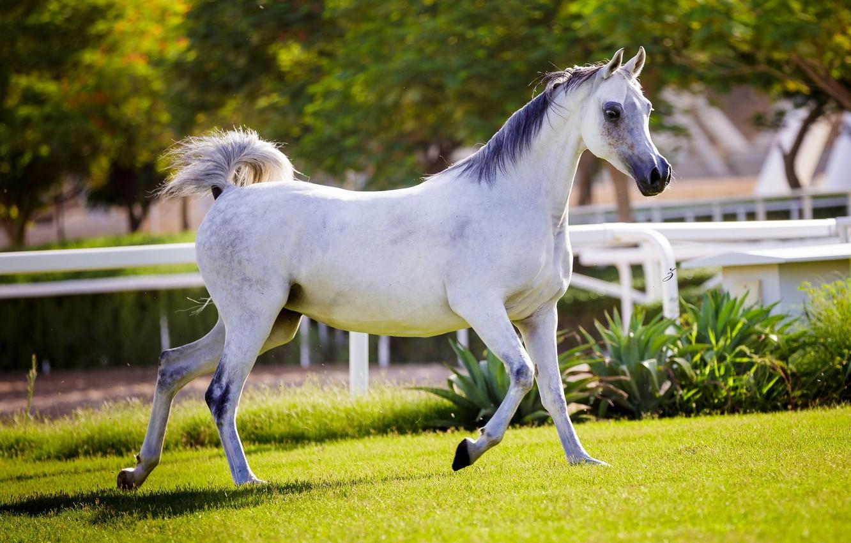 Photo wallpaper horse, horse, running, grace, corral, Arab
