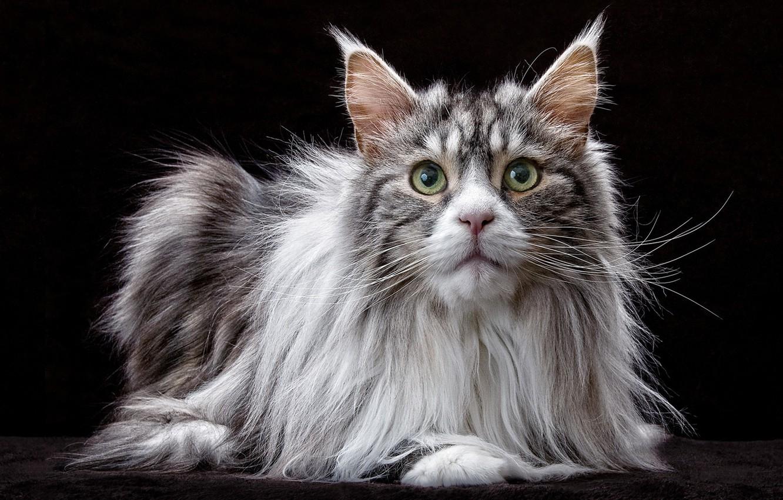 Photo wallpaper cat, cat, look, portrait, black background, Maine Coon