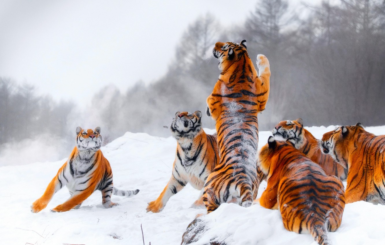 Photo wallpaper winter, snow, tiger, jump, the game, hunting, tigers, stand, young tigers