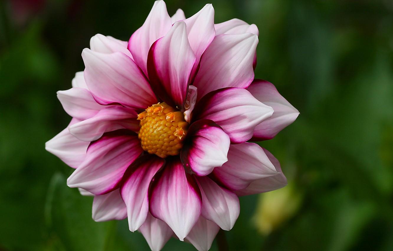 Photo wallpaper flower, macro, Dahlia