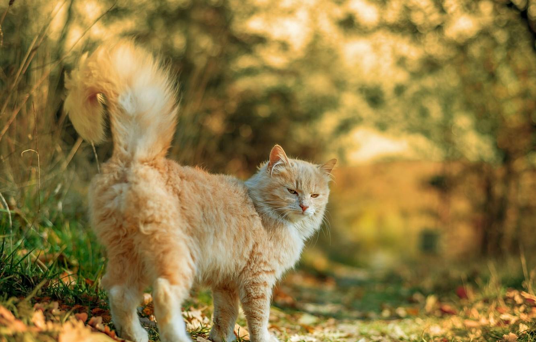 Photo wallpaper autumn, fluffy cat, blur bokeh