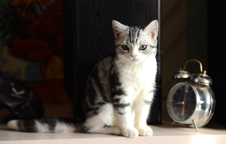 Photo wallpaper photography, kitten, Cat, bokeh, animal, clock, paws, fur, ears, whiskers, alarm clock, feline, snout