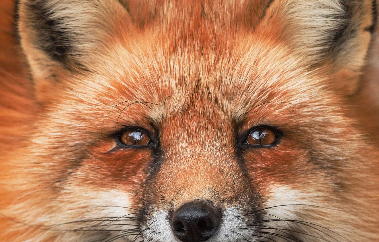 Photo wallpaper portrait, Fox, Fox, red face