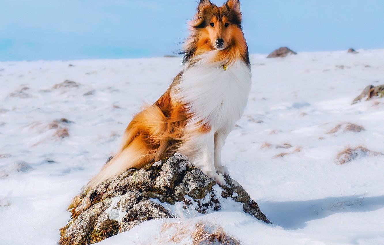 Photo wallpaper winter, snow, dog, collie