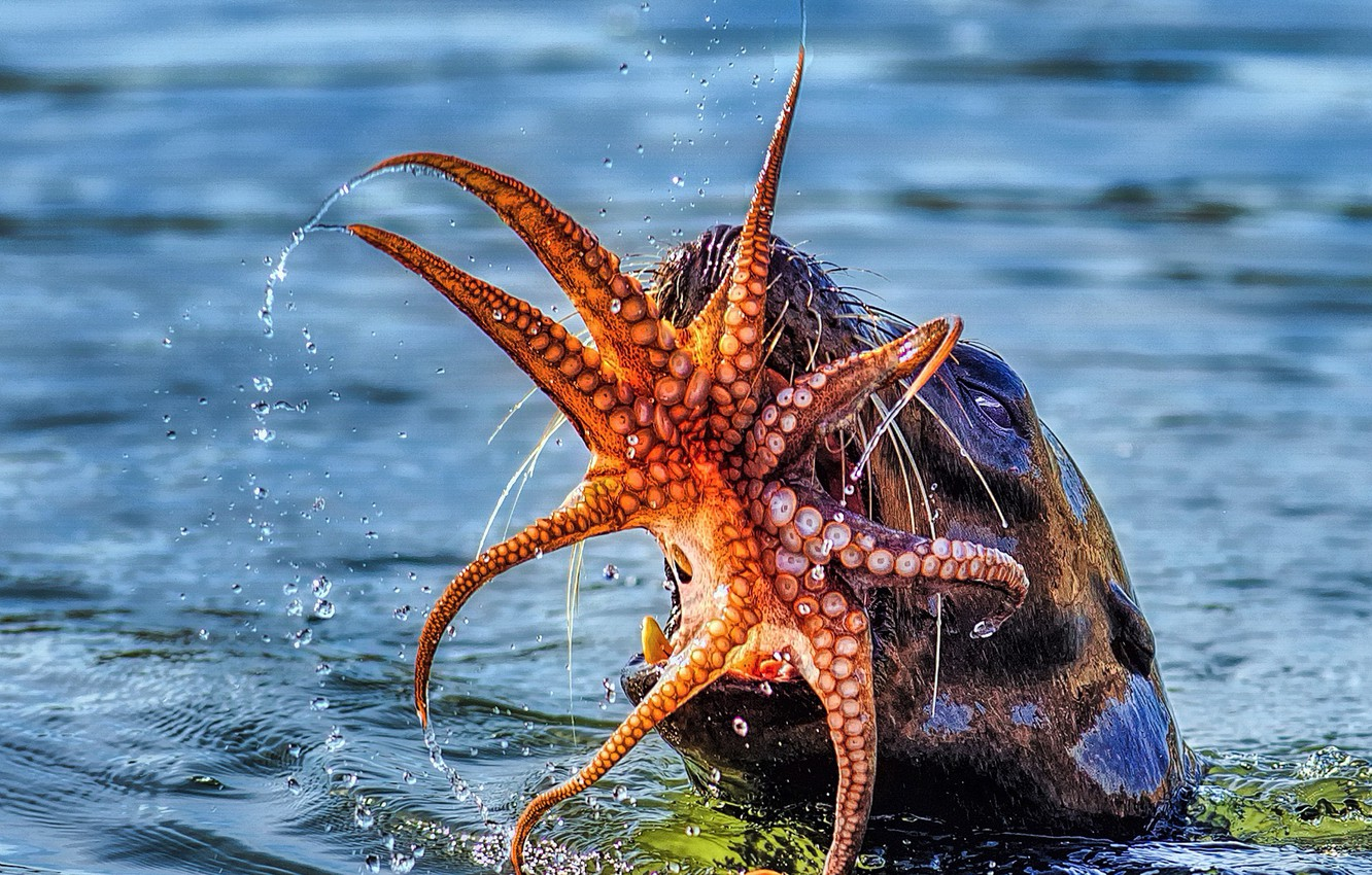 Photo wallpaper sea, food, octopus, mouth, lunch, catch, sea lion