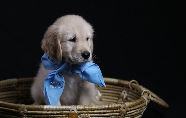 Photo wallpaper background, basket, dog, puppy, solitaire, Golden Retriever, Golden Retriever