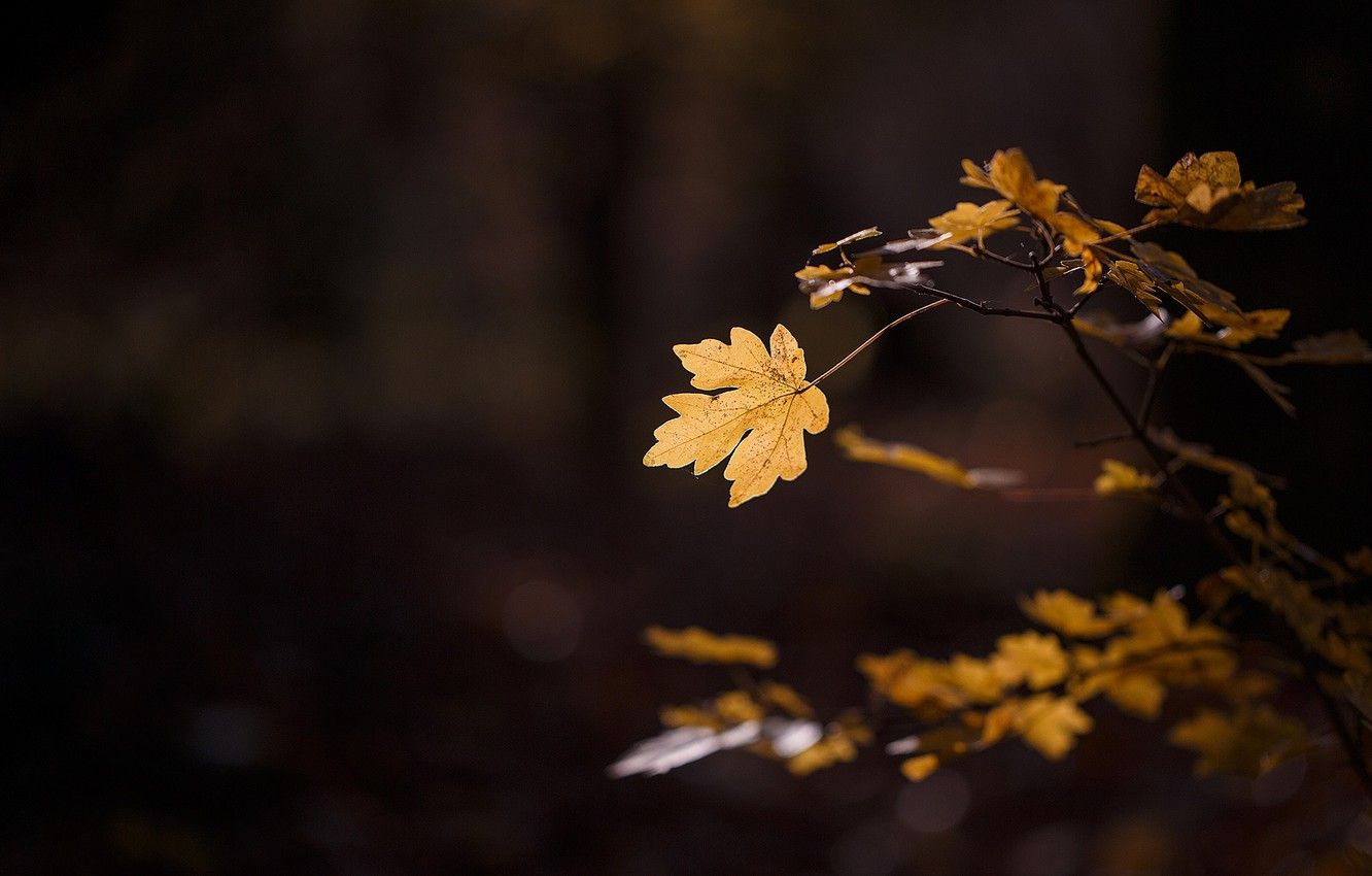 Photo wallpaper autumn, macro, light, sheet, foliage, branch, leaf, the dark background