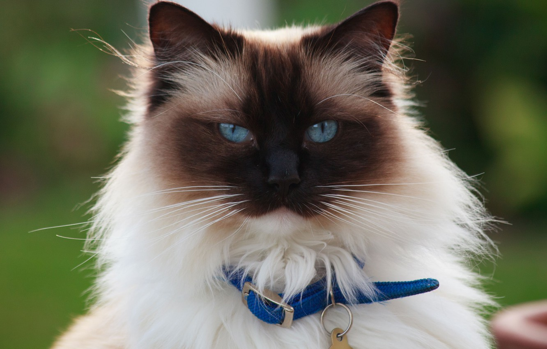 Photo wallpaper cat, cat, look, portrait, Burmese