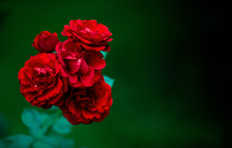 Photo wallpaper rose, Bush, petals, Bud