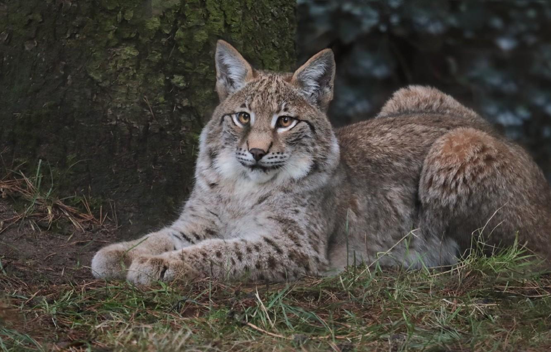 Photo wallpaper look, animal, stay, lynx