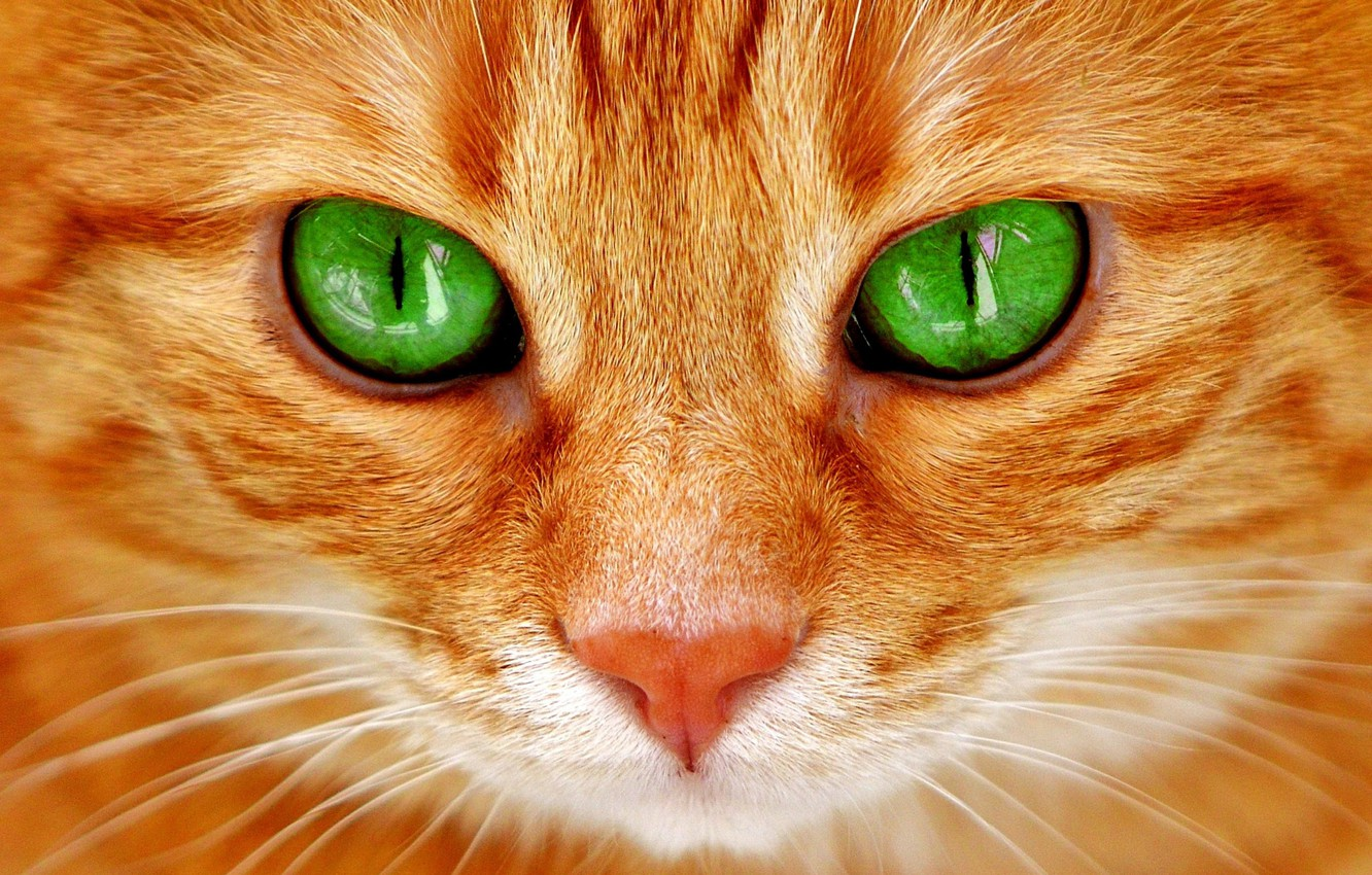 Photo wallpaper cat, look, muzzle, green eyes, red cat