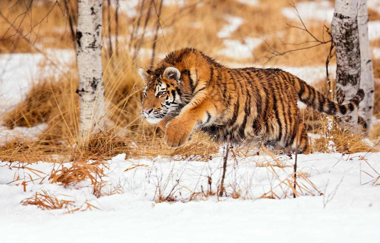 Photo wallpaper winter, snow, tiger, hunting, young tiger