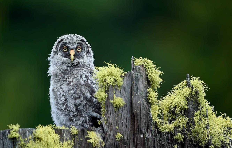 Photo wallpaper greens, owl, bird, moss, stump