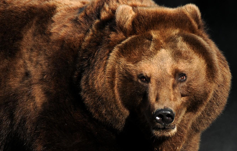 Photo wallpaper look, bear, beast