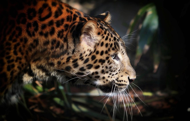 Photo wallpaper spot, leopard, profile