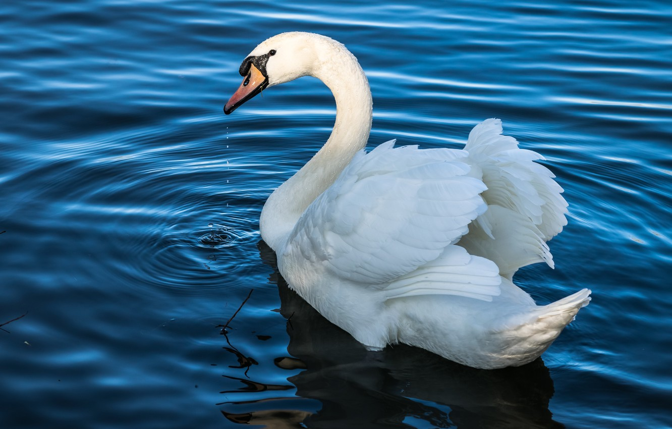 Photo wallpaper white, water, drops, light, lake, pond, bird, wings, feathers, white, Swan, beautiful, pond, neck, blue, …