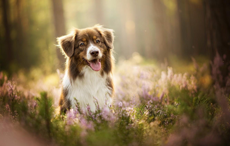 Photo wallpaper language, dog, lavender, bokeh, Kaylee