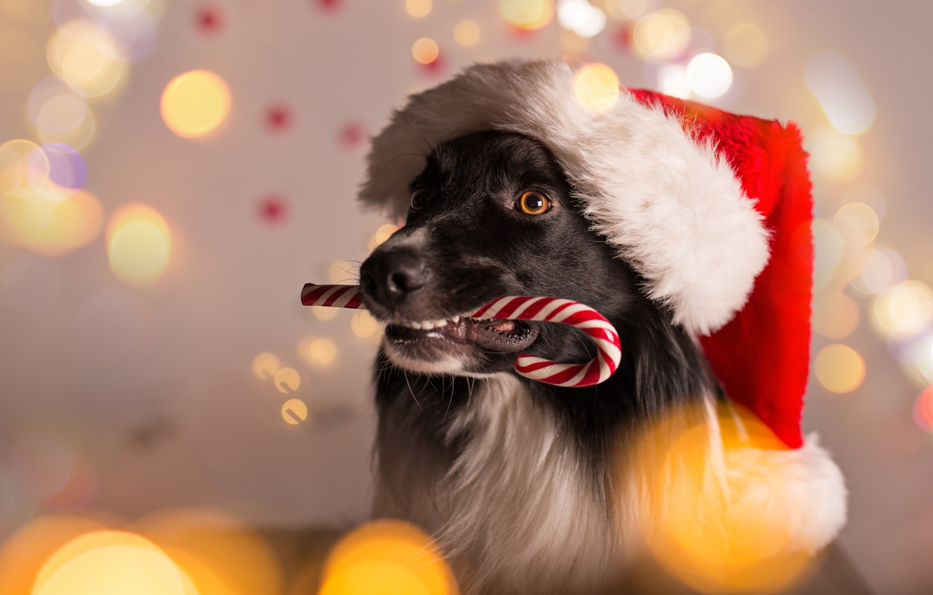 Wallpaper Dog New Year Christmas Christmas Dog 2018 Merry Christmas Xmas Funny Cute Decoration Santa Hat Symbol 2018 Images For Desktop Section Sobaki Download