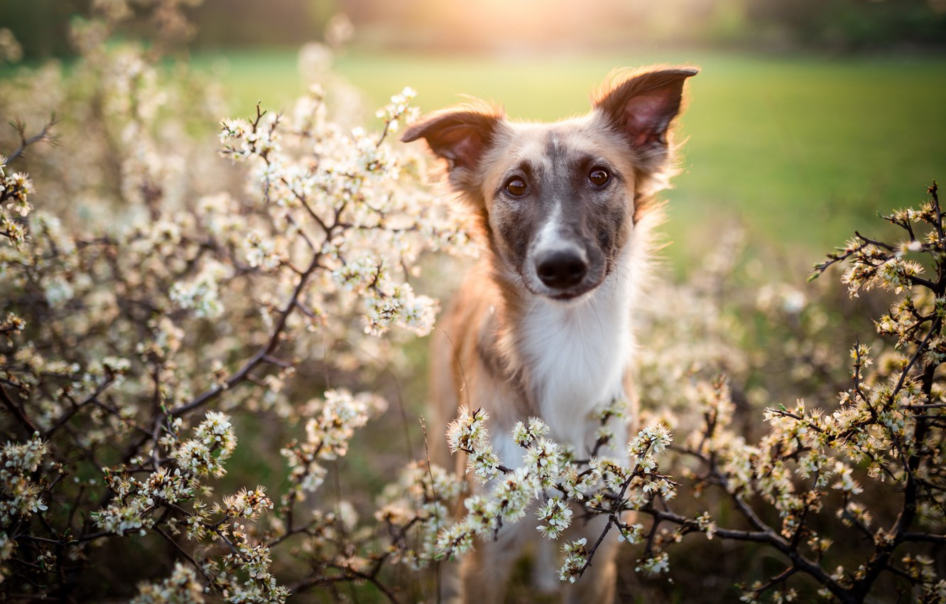 Photo wallpaper look, face, flowers, branches, Park, Bush, dog, spring, garden, puppy, flowering, lawn