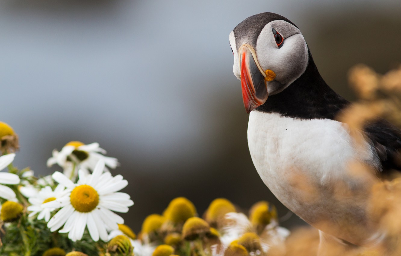 Photo wallpaper flowers, bird, chamomile, feathers, color, stalled