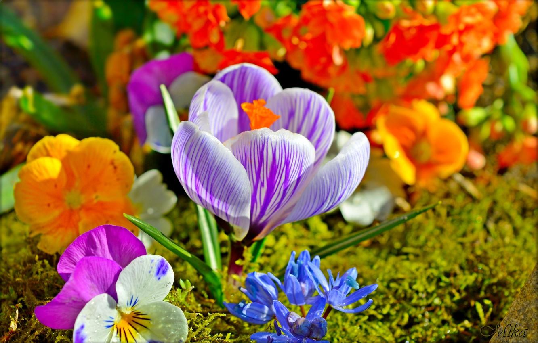 Photo wallpaper Flowers, Flowers, Krokus, Crocus
