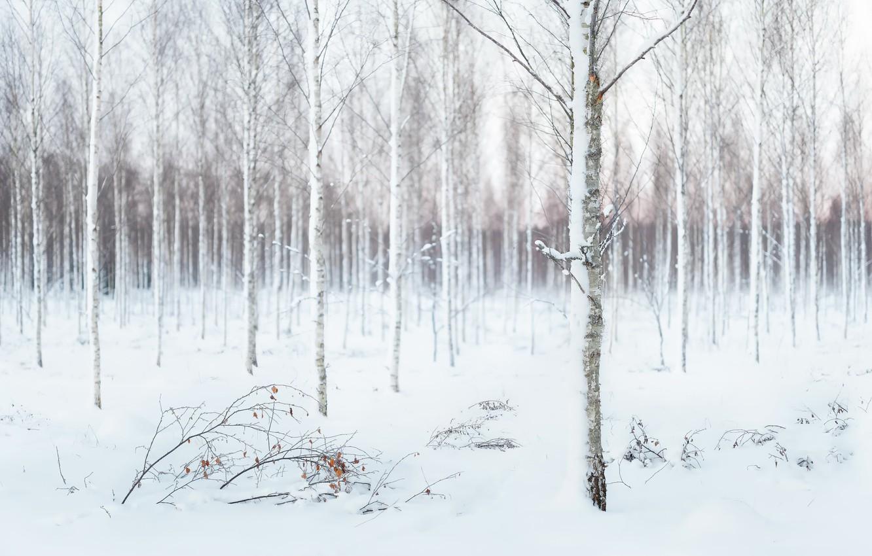 Photo wallpaper winter, snow, birch