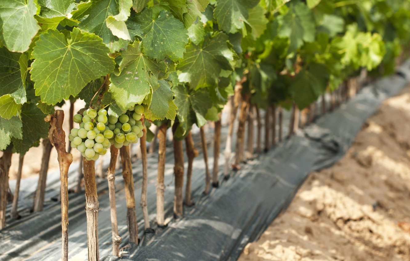 Photo wallpaper leaves, nature, grapes, bunch, vineyard, shrub
