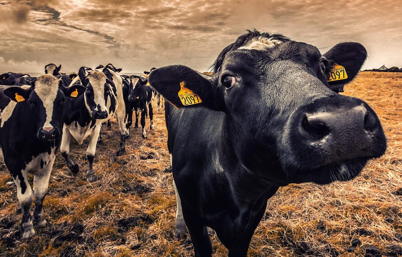 Wallpaper Nature Cows Cattle Images For Desktop Section Zhivotnye Download