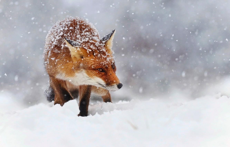 Photo wallpaper winter, snow, snowflakes, nature, Fox, red, Fox, bokeh