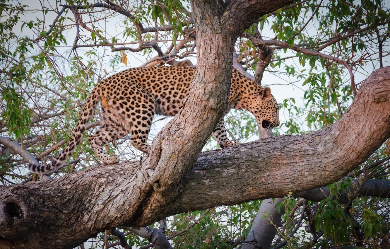 Photo wallpaper predator, leopard, wild cat, on the tree