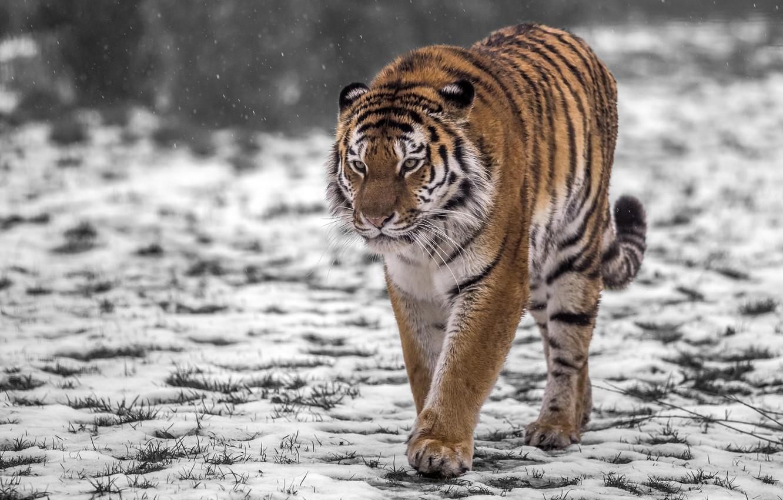 Photo wallpaper snow, tiger, predator