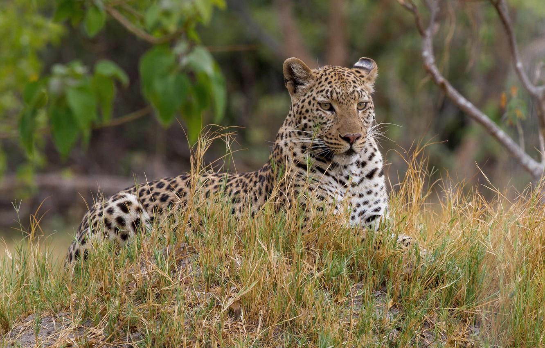 Photo wallpaper look, stay, predator, leopard, color