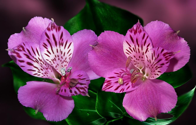 Photo wallpaper flower, macro, Alstroemeria, Peruvian Lily