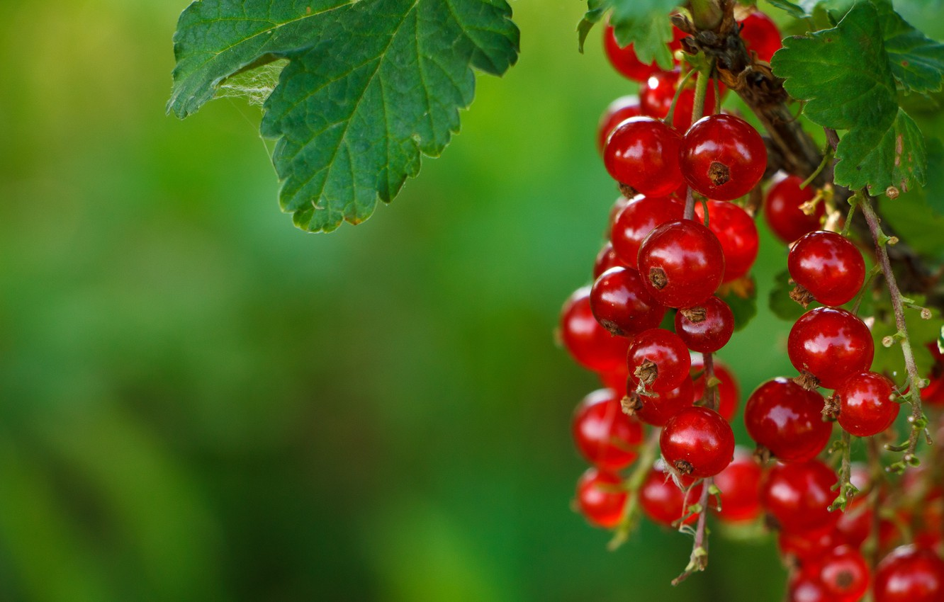 Photo wallpaper Berries, Red currants, Red currant