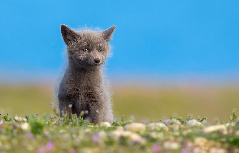 Photo wallpaper summer, North, Fox, little Fox, grey Fox