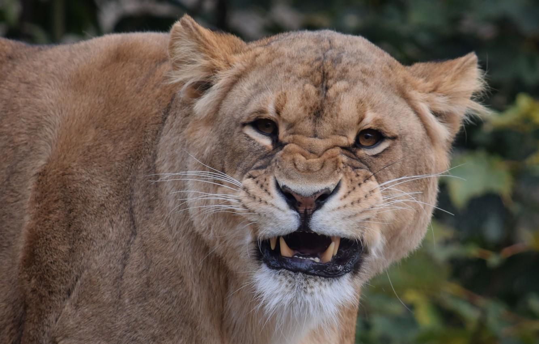 Photo wallpaper portrait, grin, lioness, zoo, big cat