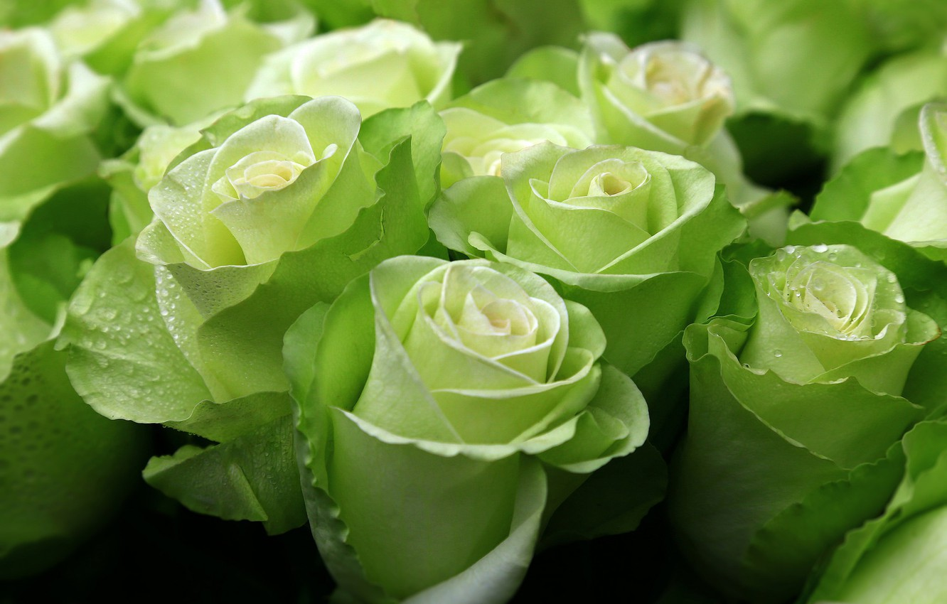 Photo wallpaper green, roses, exotic, buds