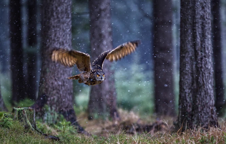 Photo wallpaper forest, owl, bird, wings, flight