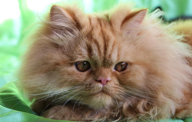 Photo wallpaper look, fluffy, muzzle, red cat, Persian cat