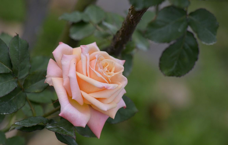 Photo wallpaper flowers, rose, petals, Bud