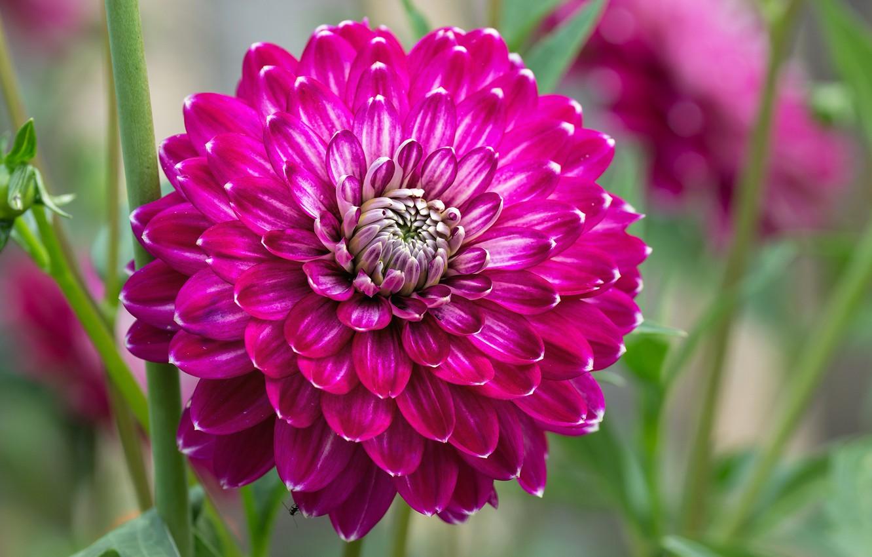 Photo wallpaper flower, petals, garden, Dahlia