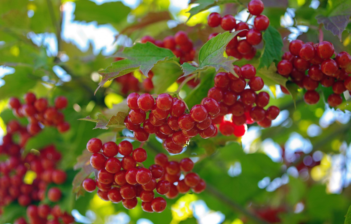 Photo wallpaper summer, nature, berries, beauty, harvest, fruit, vitamins, many, cottage, Kalina, red