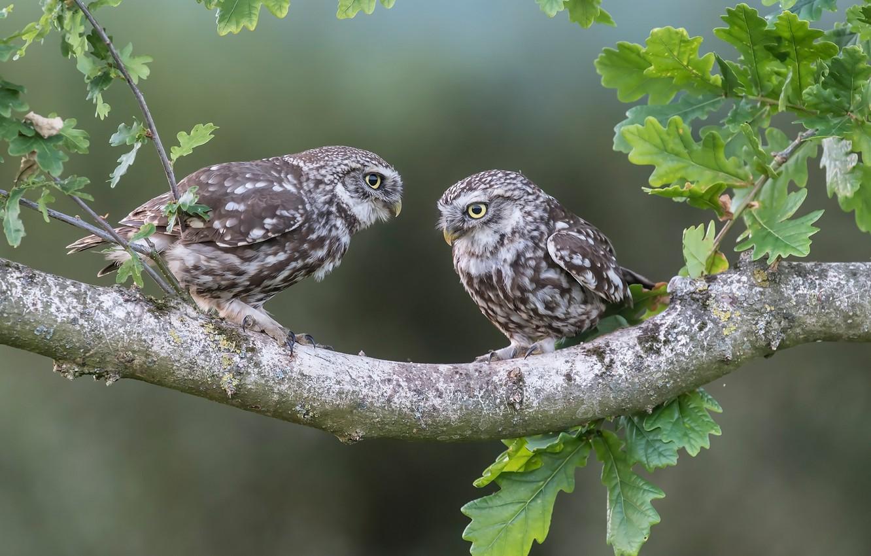 Photo wallpaper leaves, birds, branch, owls, a couple, oak, The little owl