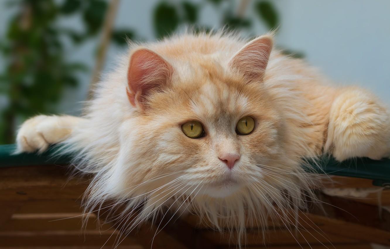 Photo wallpaper cat, look, muzzle, Kote, red cat, cat