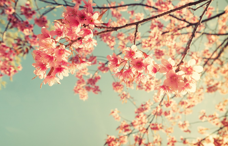 Photo wallpaper the sky, branches, spring, Sakura, flowering, pink, blossom, sakura, cherry, spring, bloom
